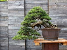 Stunning Cascade #bonsai at the Generation Bonsai event held in Germany this weekend