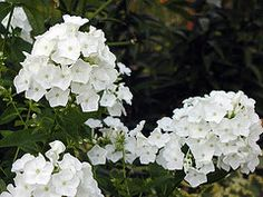 "White 'David' Phlox - Tall, leafed stems are topped with large clusters of showy flowers. Phlox grows and spreads easily, prefers good well drained soil in the sun, but doesn't seem to mind poor soil or neglect too much. Tall garden Phlox does best in full sun, which helps to produce larger blooms and stronger stems. Grow 2-3' tall.  Plant about 18-20"" apart."