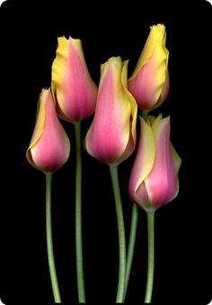mistymorrning: Lady Blushing Tulipa pela arte horticultura no Flickr