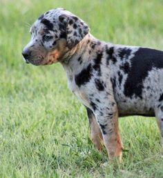 puppy - Catahoula