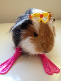 Guinea pig swimming - What were you expecting? a wetsuit?