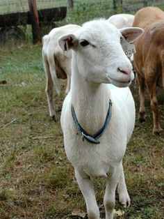 Katahdin hair sheep | Living the Country Life. Good sheep for MN.
