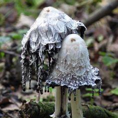 A fungi, but pretty Mushroom Art, Mushroom Fungi, Mushroom Hunting, Wild Mushrooms, Stuffed Mushrooms, Dame Nature, Mushroom Pictures, Plant Fungus, Creation Art