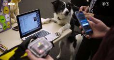 """Proyecto FIDO: El chaleco que permite """"hablar"""" a los perros   El Proyecto FIDO del Instituto de Tecnología de Georgia permite mediante un chaleco que los perros puedan darnos instrucciones atendiendo a nuestras necesidades.   Dicen que elperroesel mejor amigo del hombre. Y ahora un grupo de investigadores estadounidensestrabaja en un proyecto para que esa amistad seafiance aún más. Crearon un chaleco que mediante sensores les permite a los animales comunicarse con las personas. Algo así como…"""