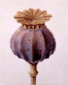 illustration of a poppy seed head – papaver somniferum. illustration of a poppy seed head – papaver Kew Gardens, Illustration Botanique, Art Et Illustration, Illustrations, Botanical Drawings, Botanical Prints, Botanical Flowers, Art Floral, Impressions Botaniques