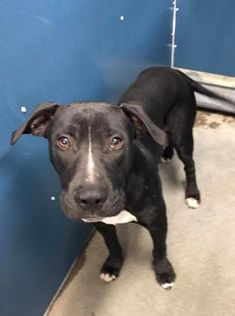 STONE - URGENT - CODE RED - Fort Worth Animal Care and Control in Fort Worth, Texas - ADOPT OR FOSTER - 2 year old Neutered Male Pit Bull Terrier Mix - at the shelter since August 17, 2017.