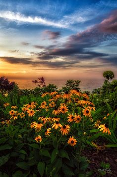 Black-eyed Susans are flowering plants that grow over three feet tall. They have green leaves up to six inches long.     Black-eyed Susans grow in open woods, gardens, fields, and roadsides. They grow quickly in just about any kind of soil.