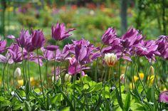 Tulipanes en Giverny
