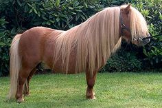 shetlandpony (Shetland Ilses, Scotland, UK). aprox. 90 cm high. Roufh, stubbern, adorable, good friend and teacher.