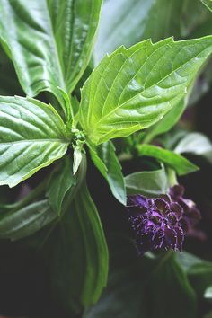 Thai Basil | HonestlyYUM