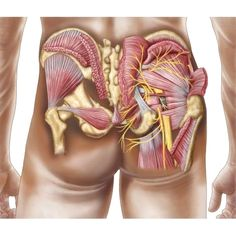 Anatomy of the gluteal muscles in the human buttocks Canvas Art - Stocktrek Images x Find out the ways our team will assit you in finding the best solution to begin a lifestyle. Human Body Anatomy, Human Anatomy And Physiology, Muscle Anatomy, Liver Anatomy, Arteries Anatomy, Gluteal Muscles, Gluteus Medius, Muscular System, Medical Anatomy