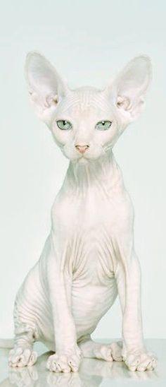 Snow white Sphynx cat.