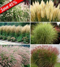 Grasses as Hedge Plants: Karl Foerster Feather Reed Grass, Pennisetum Karley Rose, Miscanthus purpurascens, Miscanthus Morning Light, Pennisetum Red Head