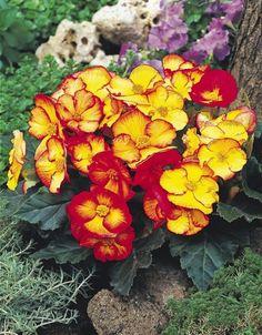 Begonia_PinUpFlame. Colibri