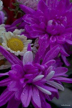 Purple Chrysanthemum with Daisy is a part of the bouquet that I received for Mother's Day. www.ivete-basso.artistwebsites.com http://yourshot.nationalgeographic.com/profile/168691/