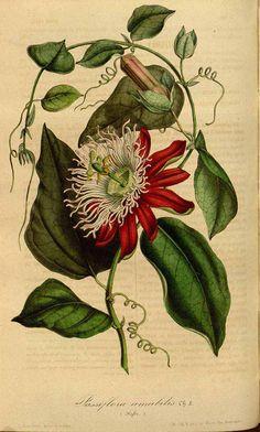 Passiflora amabilis Lemaire by Houtte, L. van, Flore des serres et des jardin de l'Europe, 1847. Illustration contributed by the Missouri Botanical Garden, U.S.A.