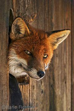 Red Fox by Mario Fichtner