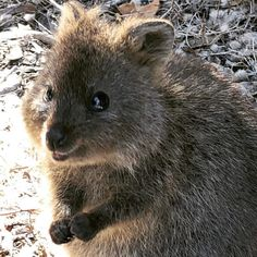 30 Funny Quokka Pictures That Will Make You Book a Flight to Australia to See Them - Happy Animals, Funny Animals, Wild Animals, Quokka Animal, Australia Animals, Mini Pigs, Bad Picture, Cute Little Animals, Funny Animal Pictures