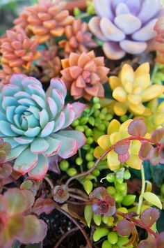 Colorful succulents, I need to plant these!