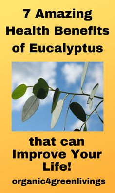 health benefits of Eucalyptus--Health benefits of Eucalyptus. Remedy for healthy skin, is a natural herb for relief from allergy symptoms, one of the best herbs for a healthy life. benefits of Eucalyptus Calendula Benefits, Lemon Benefits, Matcha Benefits, Coconut Health Benefits, Be Natural, Natural Herbs, Natural Living, Natural Health, Health And Wellness