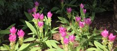 Curcuma is one of the most beautiful easy outdoor plants. Learn how to grow curcuma, a long-blooming plant that loves heat and looks gorgeous all summer. Florida Landscaping, Florida Gardening, Tropical Landscaping, Landscaping Plants, Sun Plants, Shade Plants, Tropical Plants, Garden Plants, Outdoor Flowers