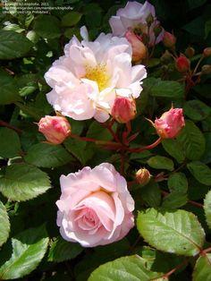 Musk Rose 'Penelope' Rosa