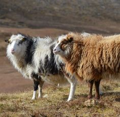 blog post about foula sheep and the yarn company which sells it. image Copyright Foula Wool(comment from previous pinner)