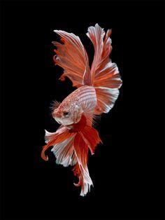 ASOMBROSO: Retratos dramáticos de peces mascotas nadando