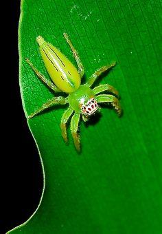 Jumping Spider 08 by hemplar, via Flickr