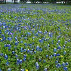 Bluebonnet field, Driftwood, TX