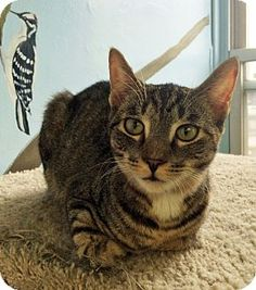 Snickerdoodle is a kitten up for adoption at the Humane Society of New York.