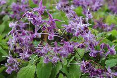 1 Epimedium Grandiflorum Lilafee Clay tolerant Groundcover TCM Medicinal Herb