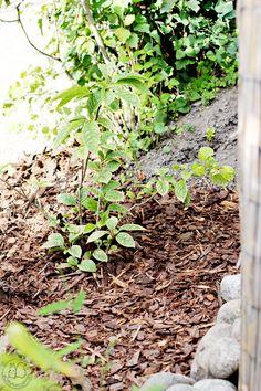 Oravankesäpesä | Nuokkusyreeni  Syringa reflexa