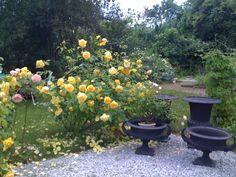 A rose garden at Österlen, Sweden