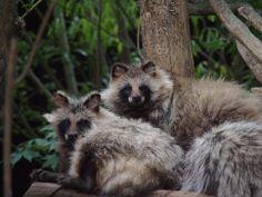 tanuki, japanese raccoon dog
