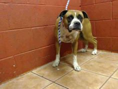 PLEDGES AND RESCUE NEEDED!  A4822252 My name is Harmony and I'm an approximately 2 year old female boxer. I am not yet spayed. I have been at the Downey Animal Care Center since April 24, 2015. I will be available on April 28, 2015. You can visit me at my temporary home at D109. https://www.facebook.com/photo.php?fbid=860166827396984&set=pb.100002110236304.-2207520000.1430175217.&type=3&theater