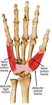 yoga The flexor digiti minimi brevis is a muscle that exists in both the hand and the foot. It helps move the pinkie finger and little toe. Hand Anatomy, Human Body Anatomy, Muscle Anatomy, Anatomy Study, Anatomy Reference, Remedial Massage, Anatomy Images, Body Diagram, Body Map