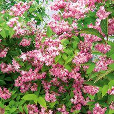 Sternchenstrauch Strawberry Fields - Heckenpflanzen More