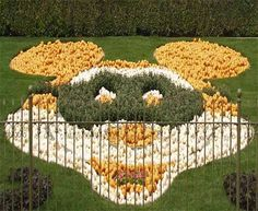 Mickey Mouse in Pumpkins:   Disneyland at Halloween Pictures California