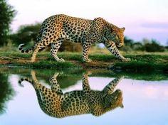 Leopard or Jaguar? Cheetah Wallpaper, Wild Animal Wallpaper, Tier Wallpaper, Wallpaper Pictures, Jaguar Wallpaper, Wallpaper Gallery, Desktop Wallpapers, Beautiful Cats, Animals Beautiful