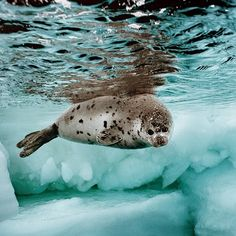 """brianskerry - """"A Harp Seal pup, about 3 weeks old, swims in the icy waters of Canada's Gulf of St. Lawrence. It shed its white coat only a few days earlier."""""""