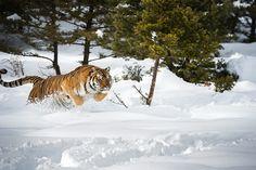 Tigre siberiano (Panthera tigris altaica), Montana, Estados Unidos de América, América del Norte.  Fotógrafo  Janette Hill.