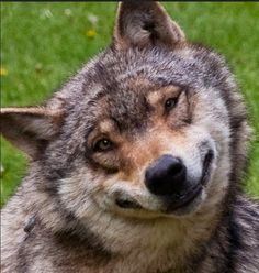 I'm Kind of Dubbing This Timber Wolf (Smiling Jack). He is so Darn Cute With That Grin!