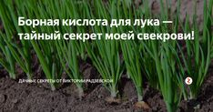 Бор необходим для роста растений. Очень часто от нехватки бора мы получаем скудный урожай лука. Чтобы восполнить нехватку этого вещества необходимо применить борную кислоту.
