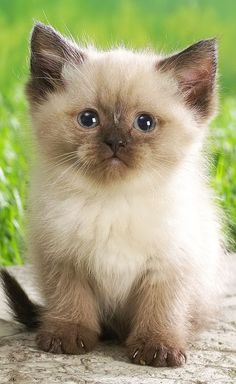 Himalayan kitten....your own little kitten Anna :)