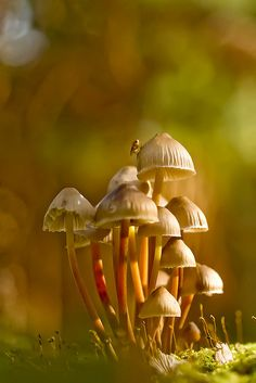 Clustered Bonnet Mushrooms by wentloog, Mushroom Art, Mushroom Fungi, Mushroom Hunting, Wild Mushrooms, Stuffed Mushrooms, Foto Macro, Macro Photo, Mushroom Pictures, Slime Mould