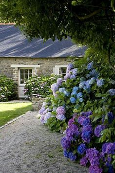 Irish hydrangea Oohhhhh how special!!! #BarbSchwarzgarden