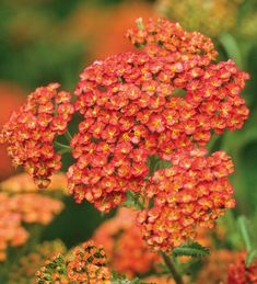 Buy Achillea millefolium 'Terracotta' from Sarah Raven: The fantastic thing about yarrows is that they flower for many months at a stretch. These open the colour of terracotta, fading like a lovely antique tapestry as they age. Bonsai, Plant Delivery, Achillea Millefolium, Summer Plants, Home Flowers, Hardy Perennials, Beneficial Insects, Types Of Soil, Garden Inspiration