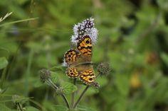 Gepind vanaf vroegevogels.vara.nl - Argusvlinder
