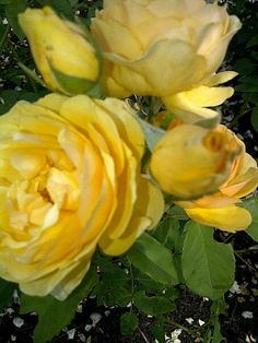Yellow Roses mean Frindship, and happiness:D